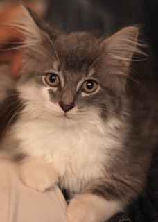 Maine Coon Mix / Domestic Long